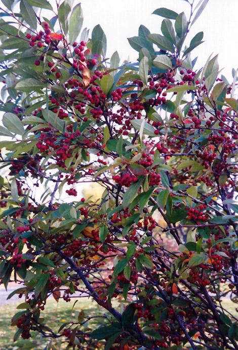 Red Chokeberry (Aronia arbutifolia) at DeWayne's