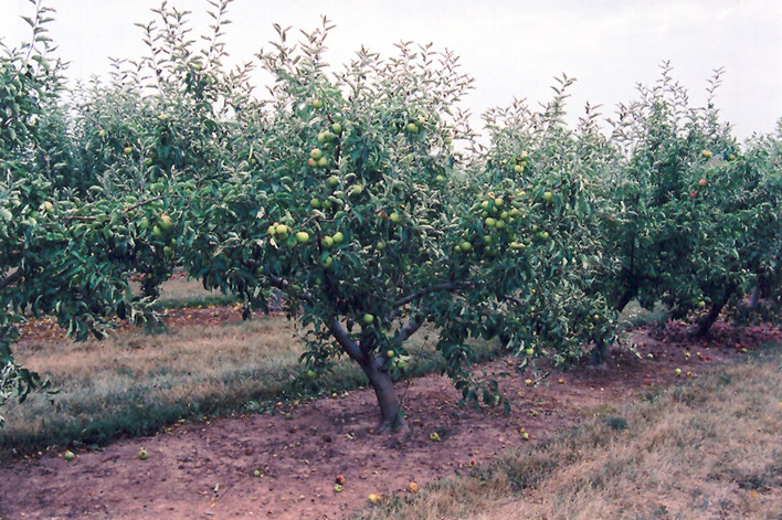 Jonagold Apple (Malus 'Jonagold') at DeWayne's