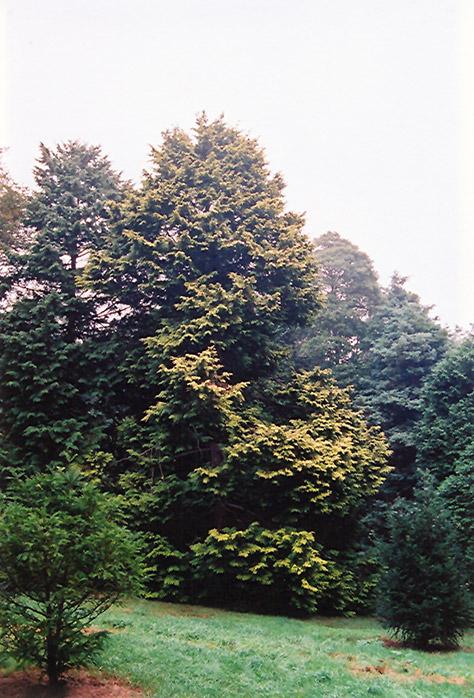 Golden Hinoki Falsecypress (Chamaecyparis obtusa 'Aurea') at DeWayne's