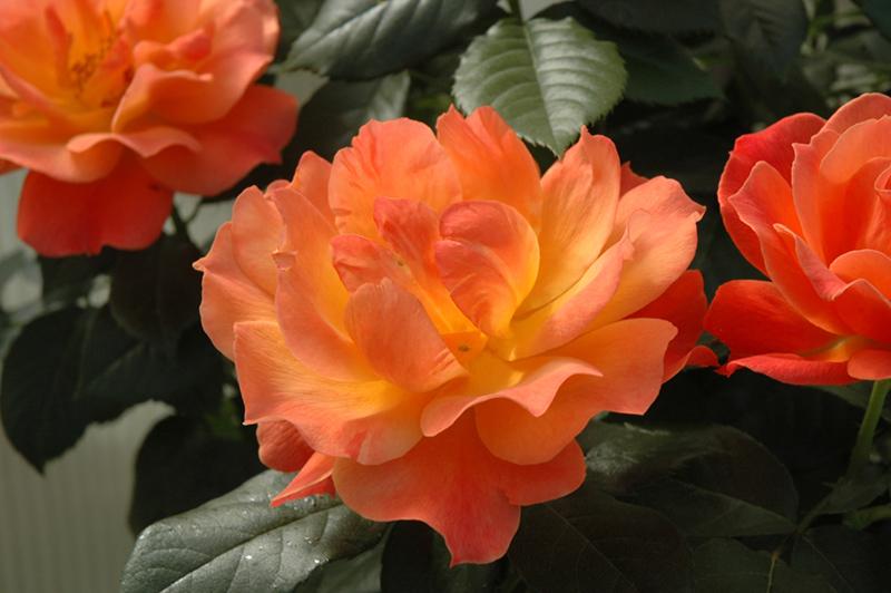 Livin' Easy Rose (tree form) (Rosa 'HARwelcome (tree form)') at DeWayne's