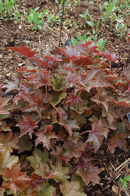 Palace Purple Coral Bells (Heuchera micrantha 'Palace Purple') at DeWayne's