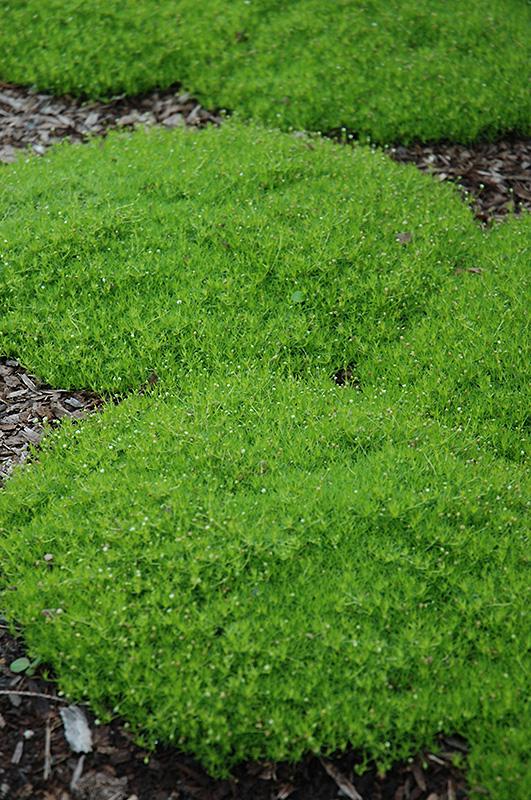 Irish Moss (Sagina subulata) at DeWayne's