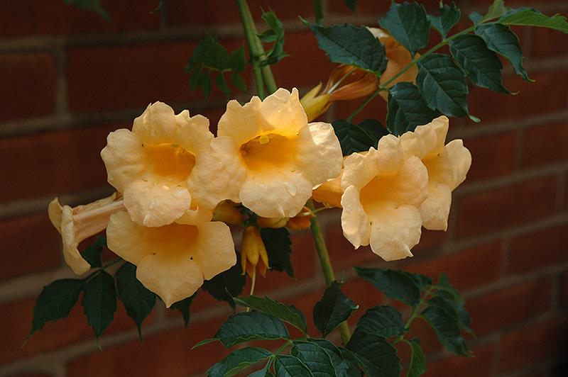 Yellow Trumpetvine (Campsis radicans 'Flava') at DeWayne's