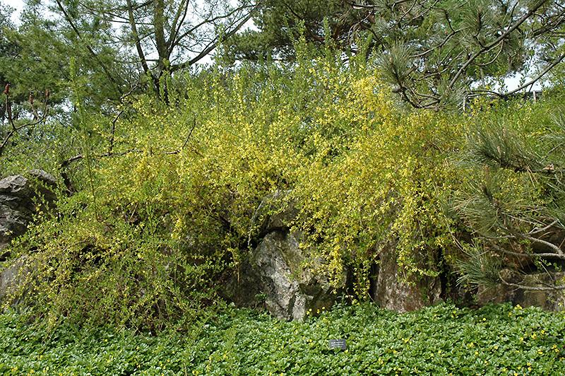 Arnold Dwarf Forsythia (Forsythia x intermedia 'Arnold Dwarf') at DeWayne's