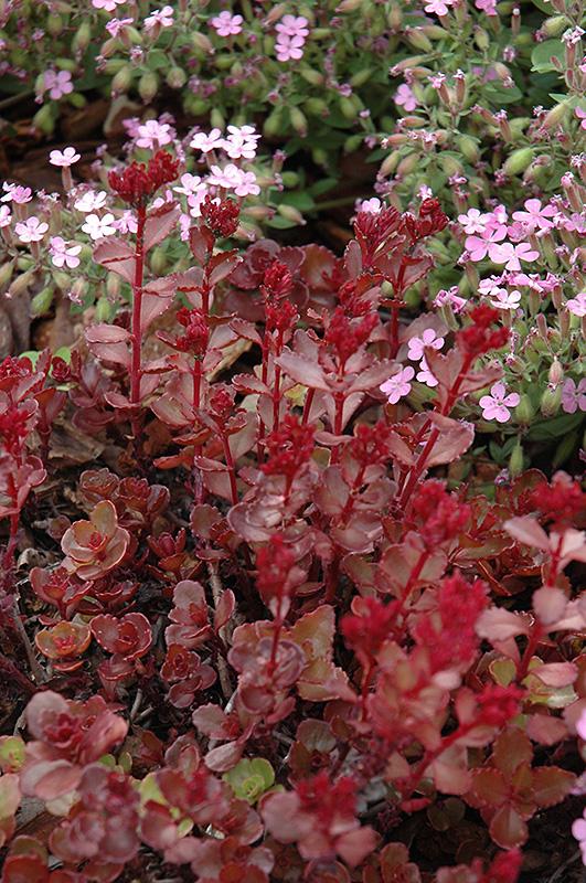 Red Carpet Stonecrop (Sedum spurium 'Red Carpet') at DeWayne's