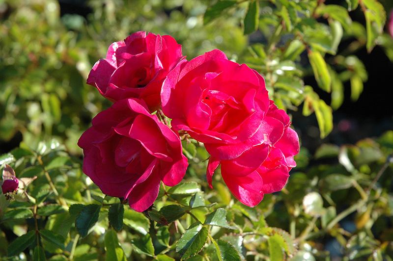 Flower Carpet Pink Rose (Rosa 'Flower Carpet Pink') at DeWayne's