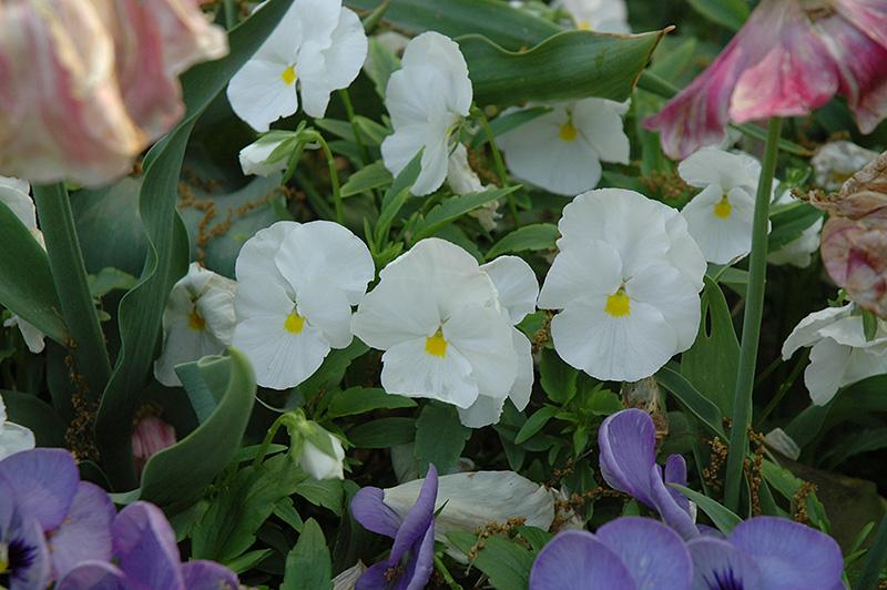 Matrix White Pansy (Viola 'PAS882787') at DeWayne's