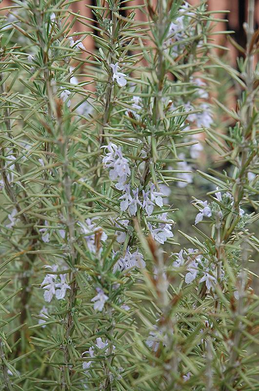 Arp Rosemary (Rosmarinus officinalis 'Arp') at DeWayne's