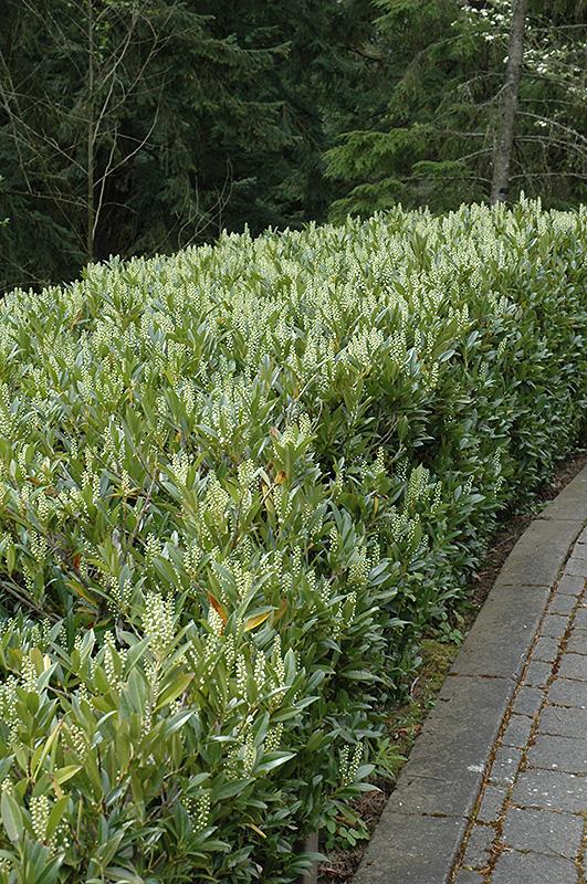 Otto Luyken Dwarf Cherry Laurel (Prunus laurocerasus 'Otto Luyken') at DeWayne's