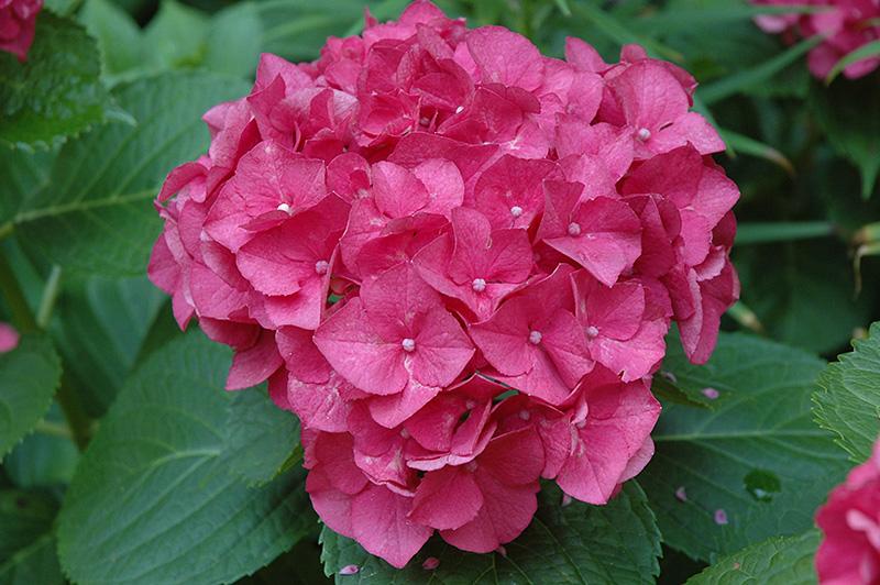 Merritt's Supreme Hydrangea (Hydrangea macrophylla 'Merritt's Supreme') at DeWayne's