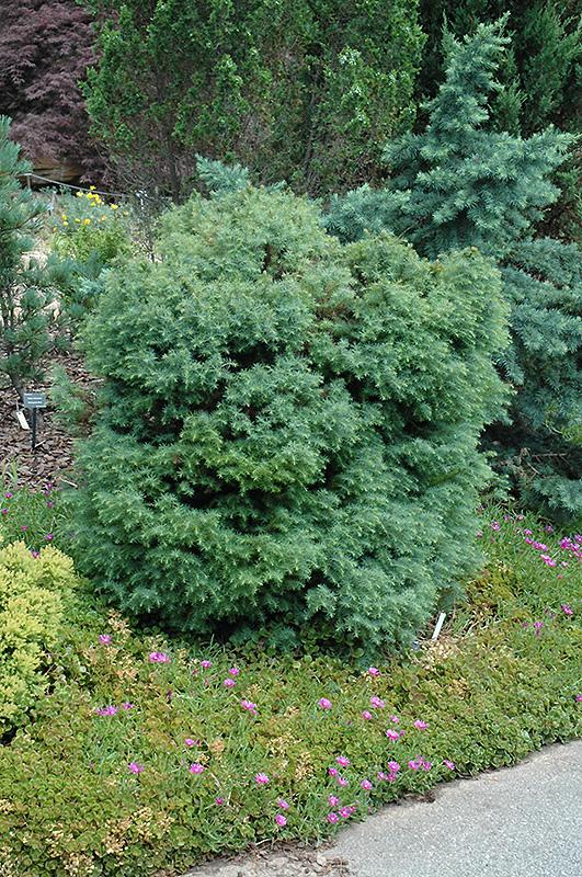 Mushroom Japanese Cedar (Cryptomeria japonica 'Mushroom') at DeWayne's