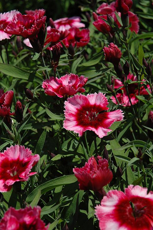 Raspberry Parfait Pinks (Dianthus 'Raspberry Parfait') at DeWayne's