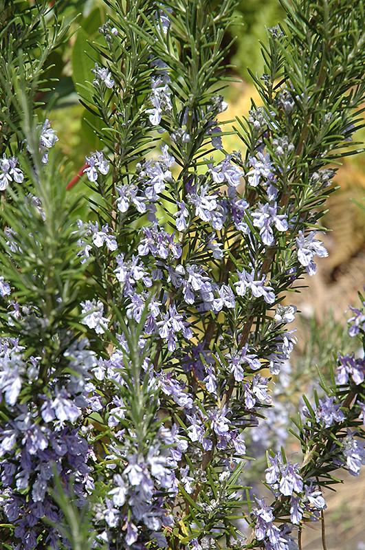 Rosemary (Rosmarinus officinalis) at DeWayne's