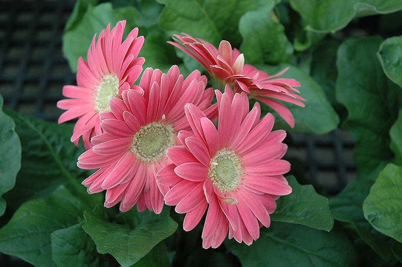 Pink Gerbera Daisy (Gerbera 'Pink') at DeWayne's