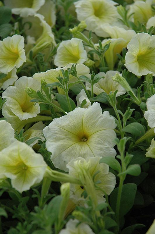 Madness Yellow Petunia (Petunia 'Madness Yellow') at DeWayne's