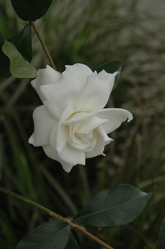 First Love Gardenia (Gardenia jasminoides 'Aimee') at DeWayne's