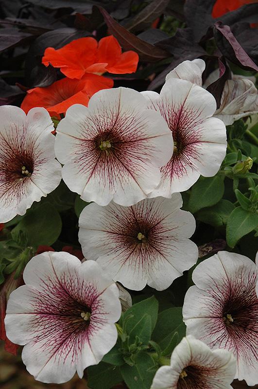 Potunia Blackberry Ice Petunia (Petunia 'Potunia Blackberry Ice') at DeWayne's