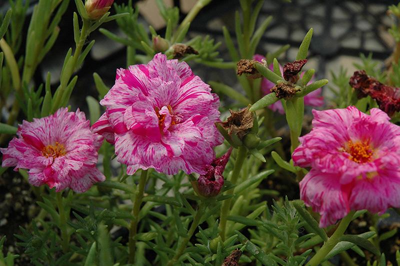 Sundial Peppermint Portulaca (Portulaca grandiflora 'Sundial Peppermint') at DeWayne's