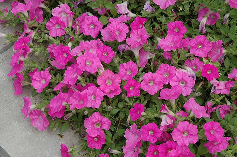 Easy Wave Pink Petunia (Petunia 'Easy Wave Pink') at DeWayne's