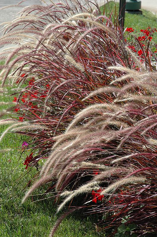 Fireworks Fountain Grass (Pennisetum setaceum 'Fireworks') at DeWayne's