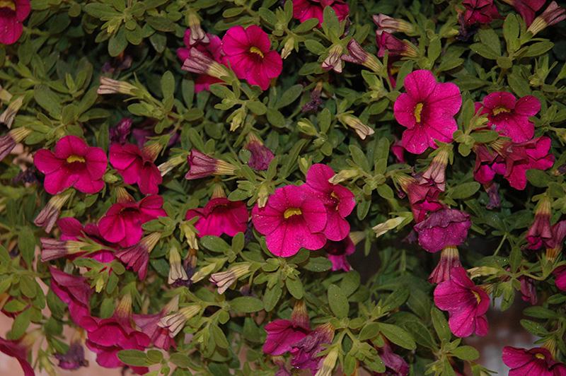 Million Bells Cherry Pink Calibrachoa (Calibrachoa 'Million Bells Cherry Pink') at DeWayne's