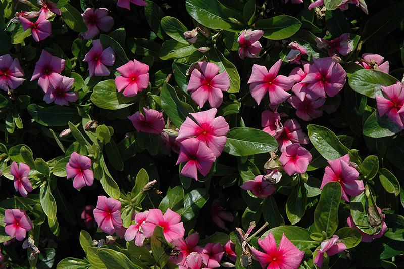 Cora Strawberry Vinca (Catharanthus roseus 'Cora Strawberry') at DeWayne's