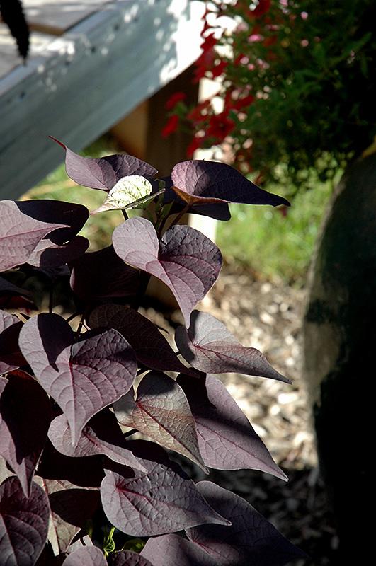 Sidekick Black Heart Sweet Potato Vine (Ipomoea batatas 'Sidekick Black Heart') at DeWayne's