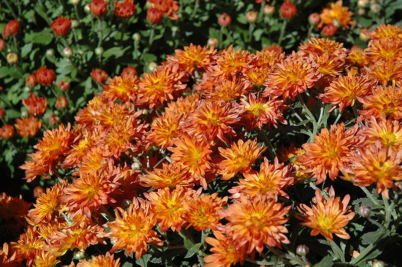 Padre Orange Chrysanthemum (Chrysanthemum 'Padre Orange') at DeWayne's