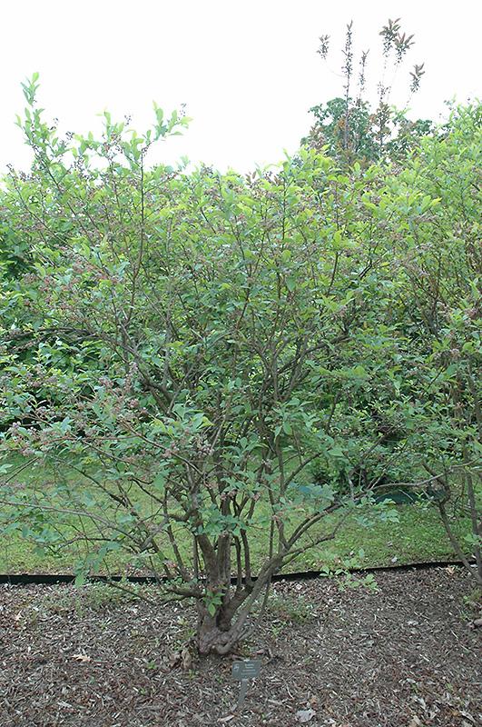 Premier Rabbiteye Blueberry (Vaccinium ashei 'Premier') at DeWayne's