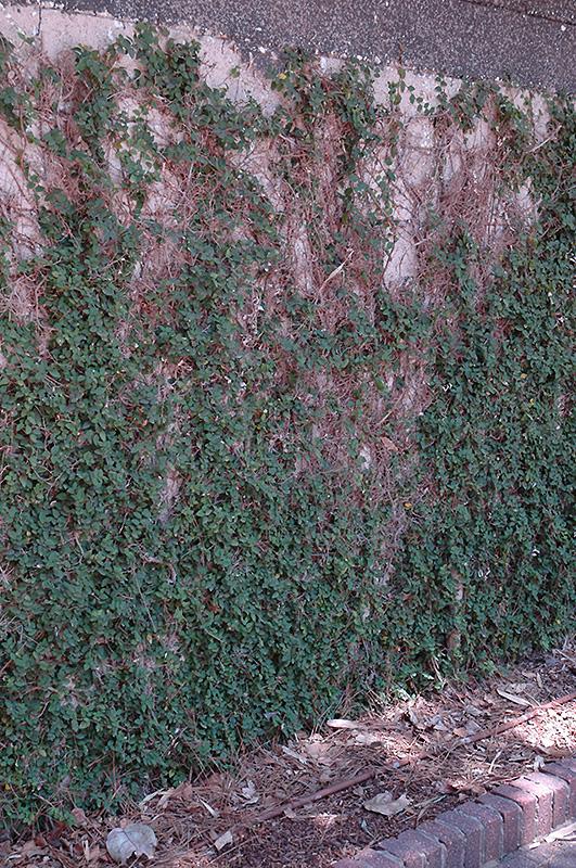 Creeping Fig (Ficus pumila) at DeWayne's