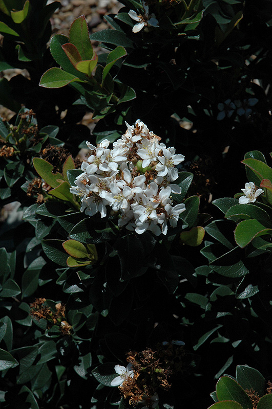 Snow White Indian Hawthorn (Rhaphiolepis indica 'Snow White') at DeWayne's