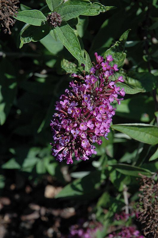 Flutterby Petite Tutti Fruitti Butterfly Bush (Buddleia davidii 'Podaras 13') at DeWayne's