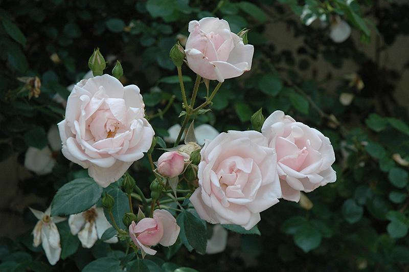 New Dawn Rose (Rosa 'New Dawn') at DeWayne's
