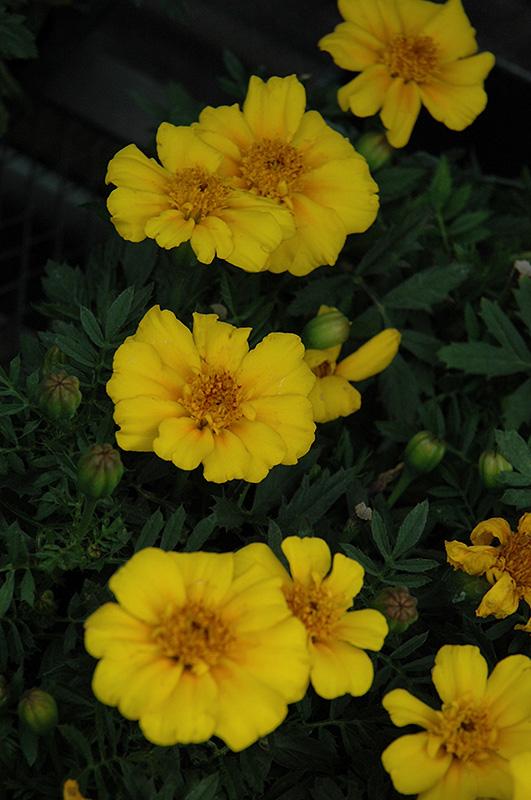 Disco Yellow Marigold (Tagetes patula 'Disco Yellow') at DeWayne's