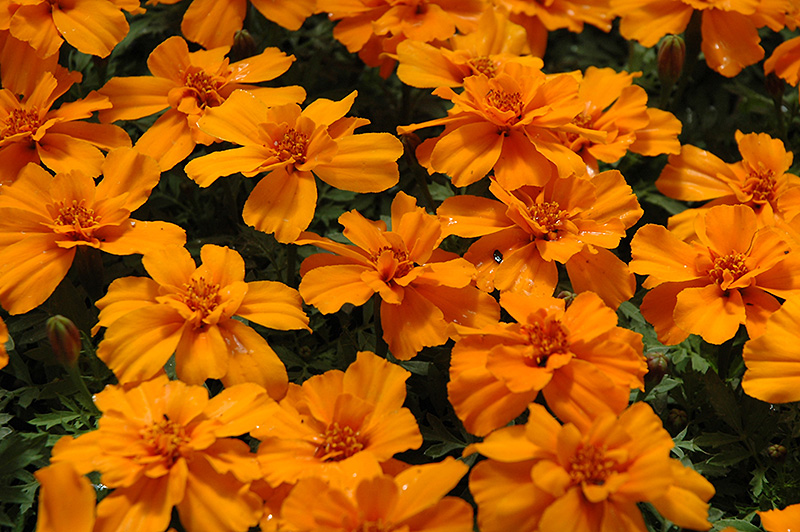 Safari Tangerine Marigold (Tagetes patula 'Safari Tangerine') at DeWayne's