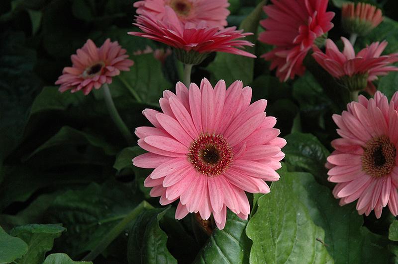 Royal Deep Pink Gerbera Daisy (Gerbera 'Royal Deep Pink') at DeWayne's