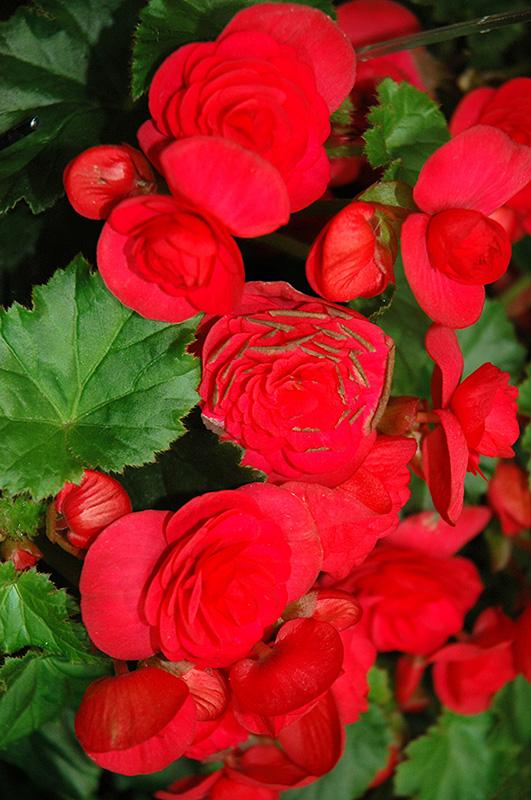 Solenia Cherry Begonia (Begonia x hiemalis 'Solenia Cherry') at DeWayne's