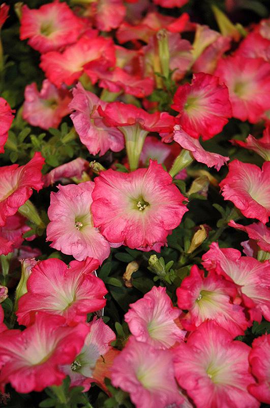 Easy Wave Rosy Dawn Petunia (Petunia 'Easy Wave Rosy Dawn') at DeWayne's