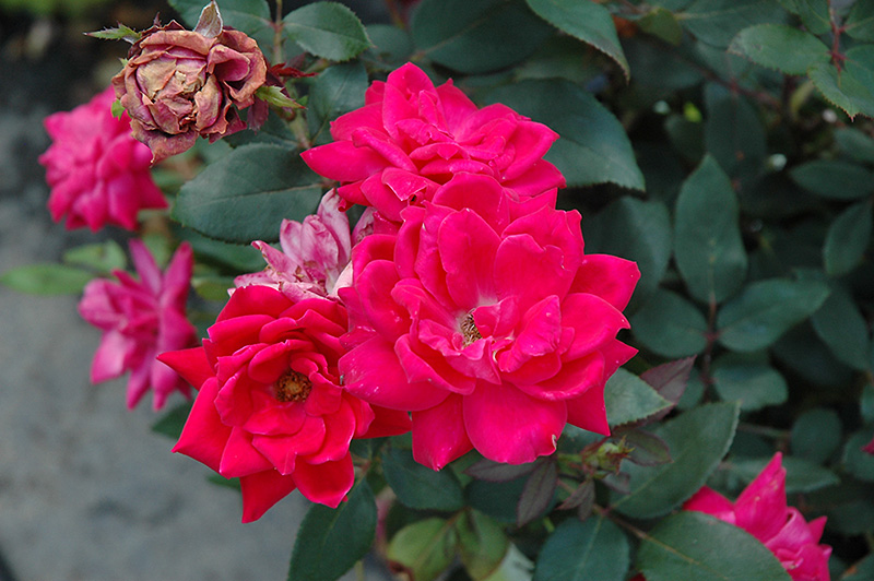 Red Double Knock Out Rose (Rosa 'Red Double Knock Out') at DeWayne's