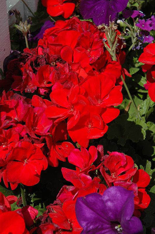 Dynamo Red Geranium (Pelargonium 'Dynamo Red') at DeWayne's