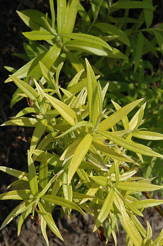 Golden Sunshine Willow (Salix sachalinensis 'Golden Sunshine') at DeWayne's