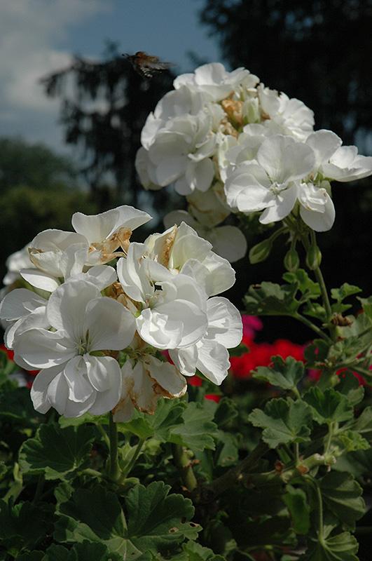 Dynamo White Geranium (Pelargonium 'Dynamo White') at DeWayne's