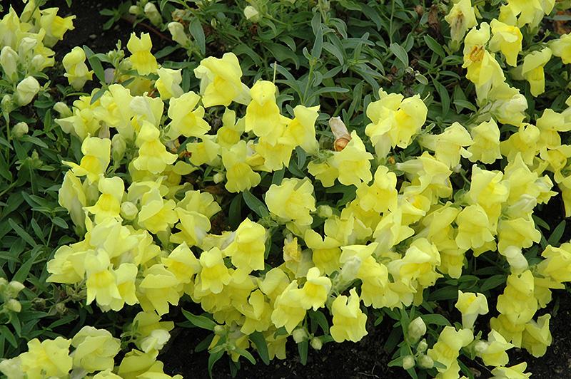 Candy Showers Yellow Snapdragon (Antirrhinum majus 'Candy Showers Yellow') at DeWayne's