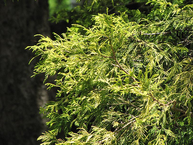 Golden Threadleaf Falsecypress (Chamaecyparis pisifera 'Filifera Aurea') at DeWayne's