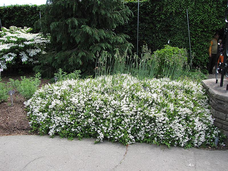 Nikko Deutzia (Deutzia gracilis 'Nikko') at DeWayne's