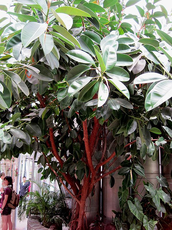 Rubber Tree (Ficus elastica) at DeWayne's
