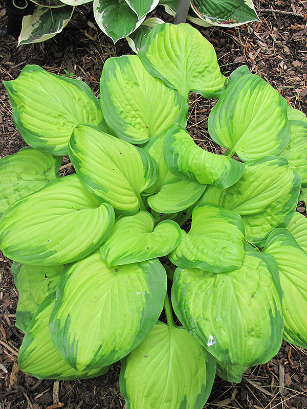 Stained Glass Hosta (Hosta 'Stained Glass') at DeWayne's