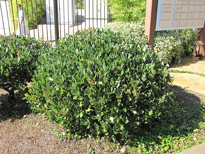 Japanese Mock Orange (Pittosporum tobira) at DeWayne's