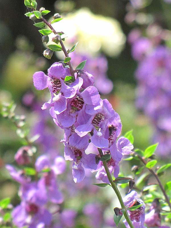 Serena Lavender Angelonia (Angelonia angustifolia 'Serena Lavender') at DeWayne's