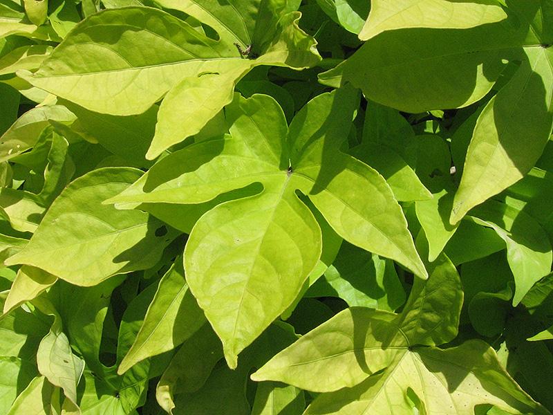 Sweet Caroline Light Green Sweet Potato Vine (Ipomoea batatas 'Sweet Caroline Light Green') at DeWayne's